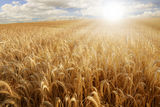 Sun over a wheat field Stock Photo