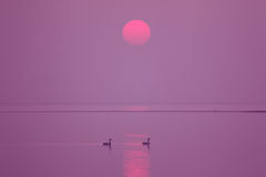 Sun. A pair of swans in the lake Stock Photography