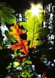 Sun para las hojas Fotografía de archivo libre de regalías