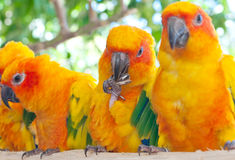 Sun Parakeet Stock Photo