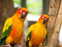 Sun Parakeet Royalty Free Stock Images