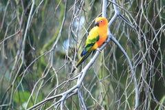 Sun parakeet Stock Photo