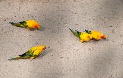Sun parakeet, Aratinga solstitialis, beautiful parrots, Sun Conure. sitting on the sand and eating royalty free stock photo