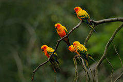 Sun Parakeet, Aratinga solstitialis, rare parrot from Brazil and French Guiana. Portrait yellow green parrot with red head. Bird f Royalty Free Stock Photography