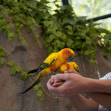 Sun parakeet (Aratinga solstitialis). Two sun parakeet, also called sun conure (Aratinga solstitialis), eating from the hands of a child and his father Stock Photography
