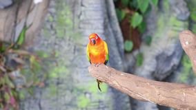 The sun parakeet beautiful colours of yellow, orange and red Aratinga solstitialis, also known as the sun conure. In South America perched in a tree stock video footage
