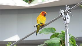 The sun parakeet beautiful colours of yellow, orange and red Aratinga solstitialis, also known as the sun conure. In South America perched on a wire stock footage