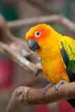 Sun parakeet. Playful sun parakeet looking at camera Stock Images