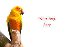 Sun parakeet or sun conure, Aratinga solstitialis parrot bird on white background with copyspace. Sun parakeet or sun conure, Aratinga solstitialis yellow, green Stock Image