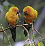 The Sun Parakeet or Sun Conure Parrots. The Sun Parakeet or Sun Conure (Aratinga solstitialis) is a medium-sized brightly colored parrot native to northeastern Royalty Free Stock Photo