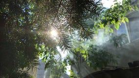 Sun parmi la fumée a pénétré par par les branches vertes de SAPIN banque de vidéos