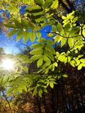 Sun Leaves Royalty Free Stock Image