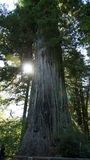 Sun peaks from behind one of the larger Redwoods. Royalty Free Stock Photo