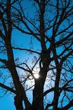Sun peeking through barren oak tree covered with ice. Deep blue late winter sky, warm march day, tree covered with ice Stock Images