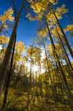 Sun Peeking Through Golden Aspens Stock Photos