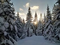 Sun peeking through snow laden trees. Late afternoon sun peeking through snow laden spruce trees in the northern Canadian forest Stock Photo