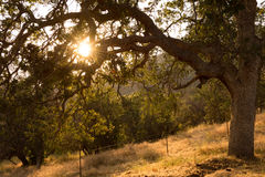 Sun peeking through tree. On a sloped hill summer time sunset Royalty Free Stock Image