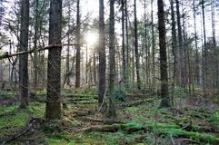 Sun peeking through the trees in de woods royalty free stock images