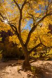 Sunburst between twisting branches of cottonwood tree in fall co. The sun peeks through twisted branches of an an old cottonwood tree inside a canyon in the royalty free stock photos