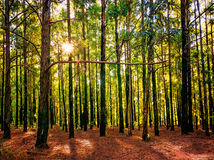 Sun peeping through the trees in the forest Stock Photos