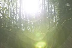 The sun penetrates in the woods Stock Photography