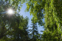 The sun Penetrating Grove Willows and Firs. The sun's rays penetrate through the vegetation of trees with weeping willows and firs or pines in summer Royalty Free Stock Images