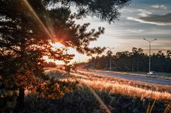 Sun in the pine forest. stock images
