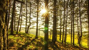 Sun in pine forest stock video footage