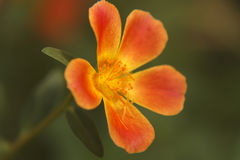 Sun plant (Portulaca grandiflora). Also called Rose moss, red or orange flower with green background.  flower Royalty Free Stock Photo