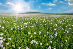 Sun and poppy field Royalty Free Stock Photos