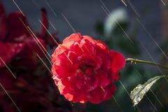 The Sun promienie & róża obrazy royalty free