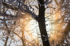 Sun que alarga-se através do fundo coberto de neve dos ramos Foto de Stock