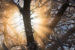 Sun que alarga-se através do fundo coberto de neve dos ramos Imagens de Stock