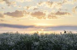 Sun que aumenta sobre o campo de flor selvagem Fotos de Stock Royalty Free