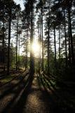 Sun que brilha através das árvores em Priosersk imagem de stock royalty free