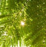 Sun que brilha através das folhas, alargamento, tarde Fotos de Stock