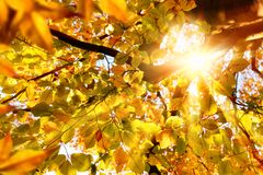 Sun que brilha através das folhas douradas Fotografia de Stock Royalty Free