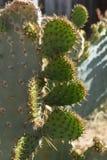 Sun que brilla en los puntos de un cactus del desierto Foto de archivo