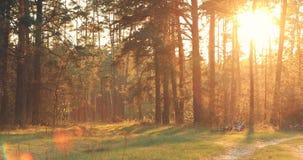 Sun que brilla sobre Forest Lane, carretera nacional, trayectoria, calzada a través del pino Forest Sunset Sunrise In Summer Fore almacen de video