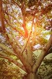 Sun que brilla a través de árbol grande Fotografía de archivo libre de regalías