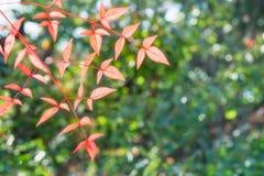 Sun que brilla a través de algunas hojas rojas en el jardín Koko-en Himeji, Japón fotos de archivo libres de regalías