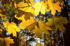 Sun que brilla a través de las hojas de arce del amarillo del otoño Fotos de archivo libres de regalías