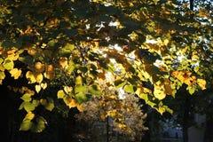 Sun que brilla a través de las hojas de la caída Imagen de archivo