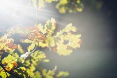 Sun que brilla a través de las hojas del roble en otoño Imagen de archivo