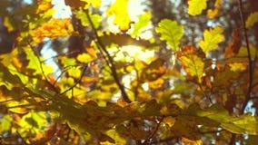 Sun que brilla a través de las hojas de la caída, roble almacen de video