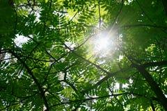 Sun que brilla a través de las hojas verdes del serbal imagen de archivo