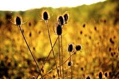 Sun que brilla a través de malas hierbas espinosas Fotografía de archivo libre de regalías