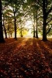 Sun que brilla a través del bosque en la caída, hojas de otoño en la tierra Imágenes de archivo libres de regalías
