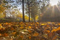 Sun que brilla a través del callejón del arce Foto de archivo libre de regalías