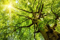 Sun que brilla a través de un árbol de haya viejo Imagen de archivo libre de regalías
